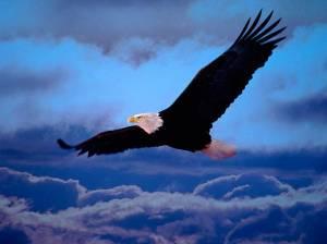 águia-voando